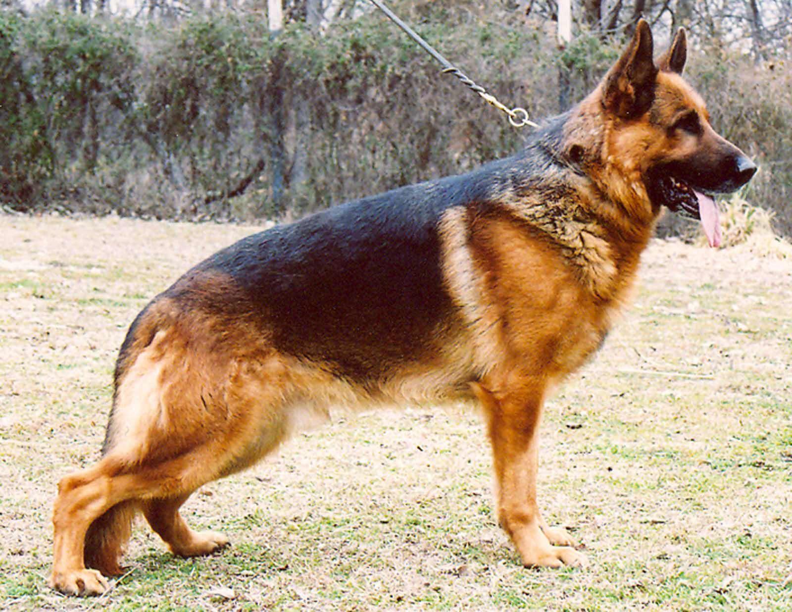 German Shepherd Dog Pedigree Database Description The German