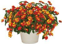 The 'Carolina Fireworks' Lantana Plant is aptly named. With masses of flower clusters in vibrant red and vivid yellow, this plant just seems to sizzle and pop with color. Fireworks is absolutely amazing when planted en masse or in groupings of hanging baskets. Wow!