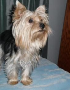 Terrys Yorkies Yorkie Puppies For Sale Teacup And Small In Missouri Yorkie Yorkie Puppy Teacup Yorkie Puppy