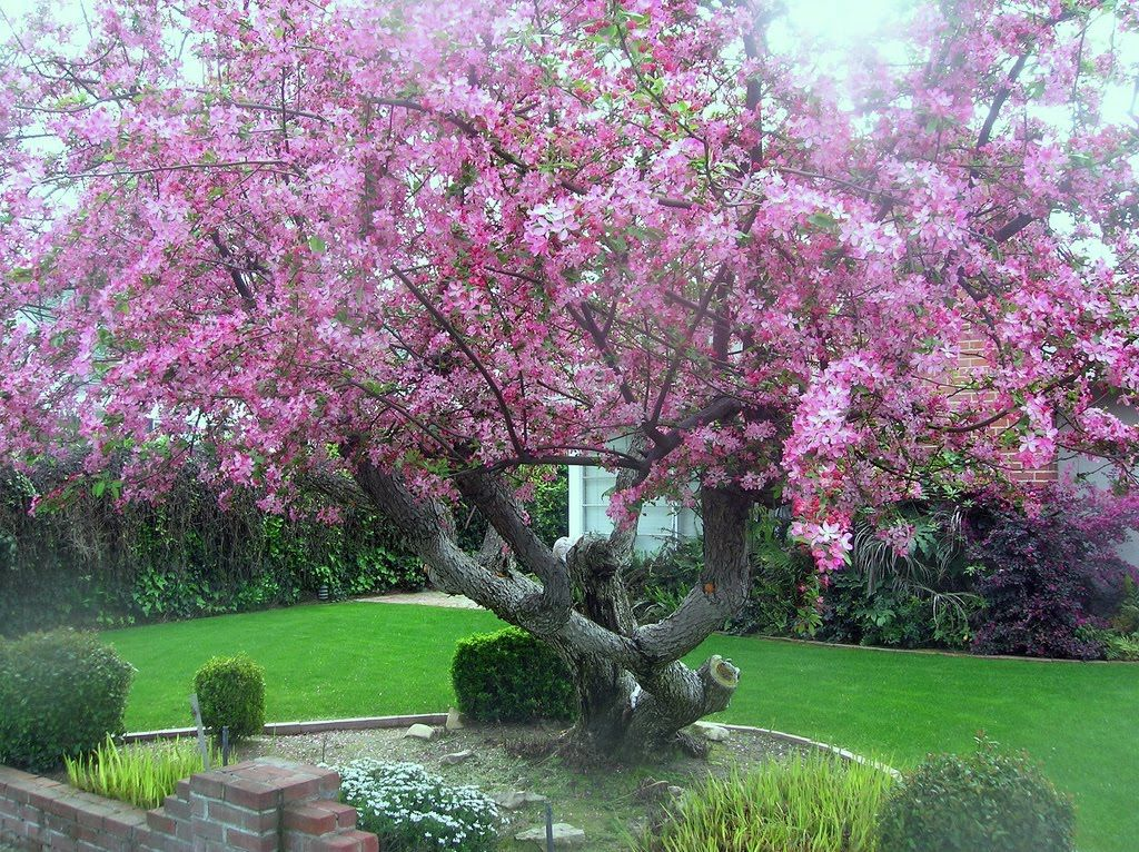 Flowering tree identification tree identification malus for Flowering landscape plants