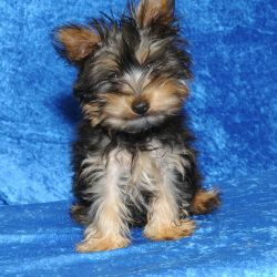 Adopt Petey On Foster Dog Silky Terrier Terrier Dogs