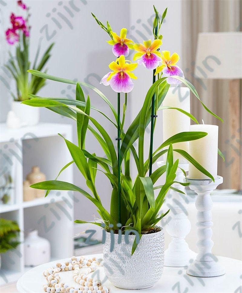 50 Pcs Pack Rare Iris Orchid Flower Indoor Plants Beautiful Home Garden Planting Bonsai Flowers Plant For Home Garden In 2020 Indoor Flowering Plants Indoor Flowers Beautiful Orchids