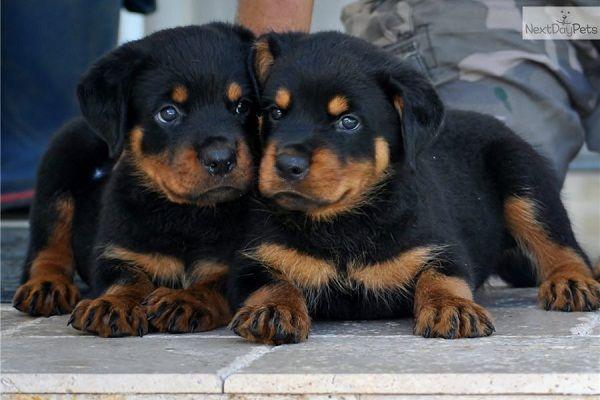 German Rottweiler Puppies For Adoption Zoe Fans Blog Schattig Rots
