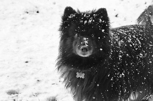 Swedish Lapphund Svensk Lapphund Puppy Dog Crazy Dog Lady Rare Dog Breeds Unique Dog Breeds