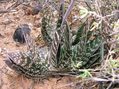 Gasteria brachypylla growing near Oudtshoorn Little Karoo