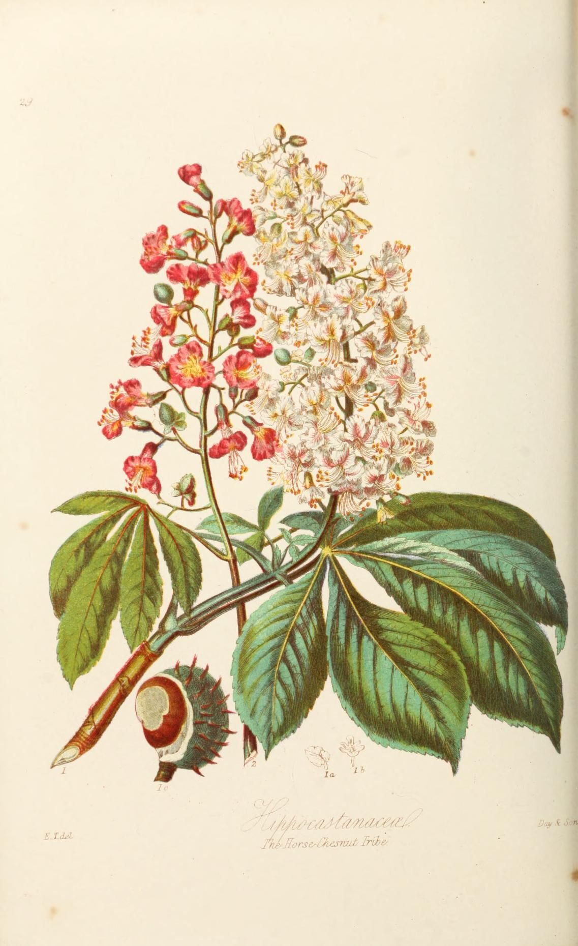1 - Illustrations of the natural orders of plants with groups and descriptions. - Biodiversity Heritage Library