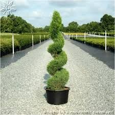 Spiral Juniper Trees Google Search Lawn And Garden Front
