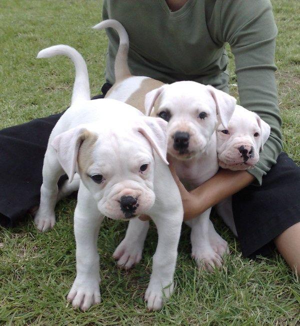 American Bulldogs American Bulldog American Bulldog Puppies Bulldog Puppies