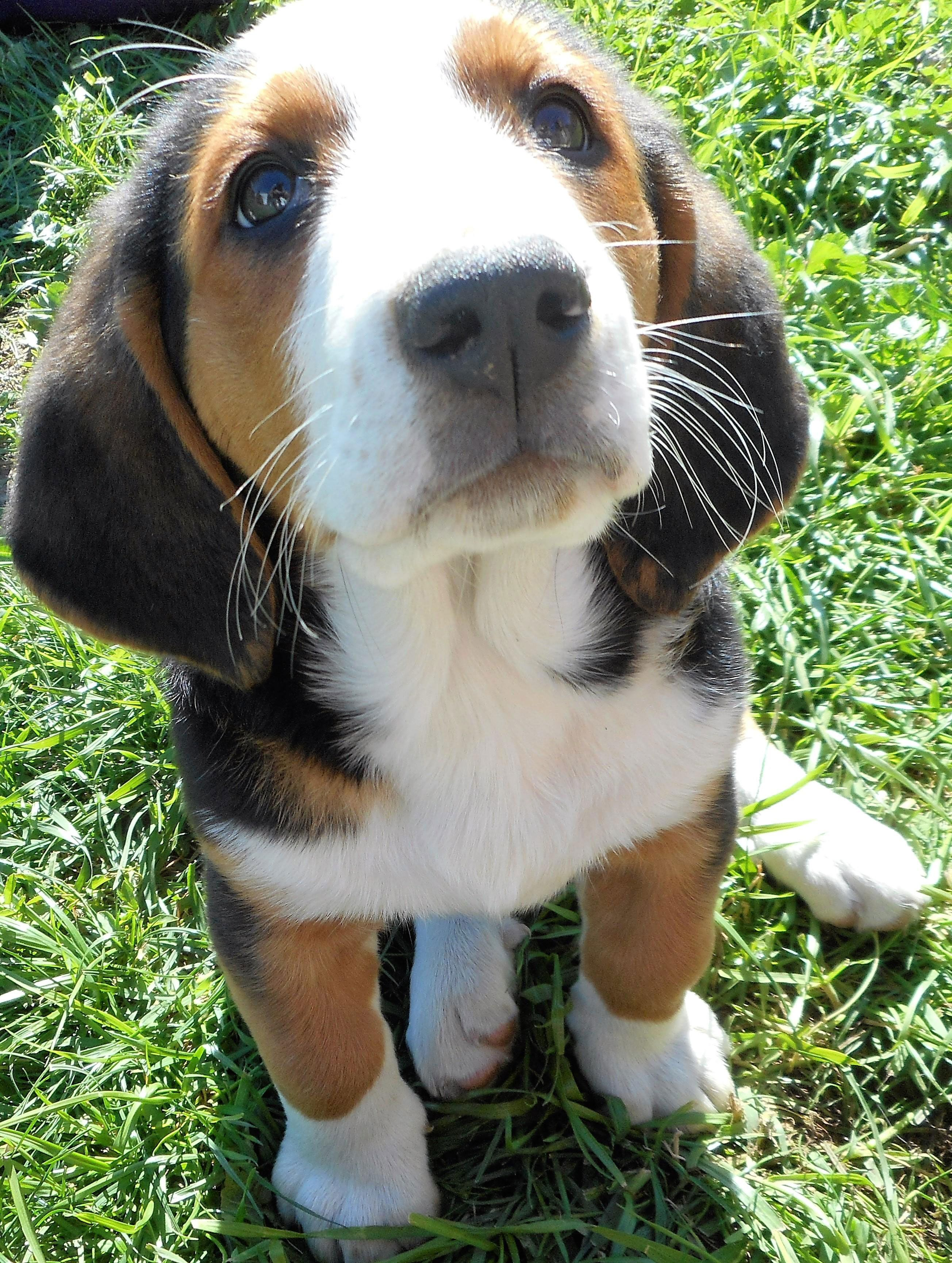 Beautiful Basset Hound And Bernese Mountain Dog Mix Puppy S Eyes