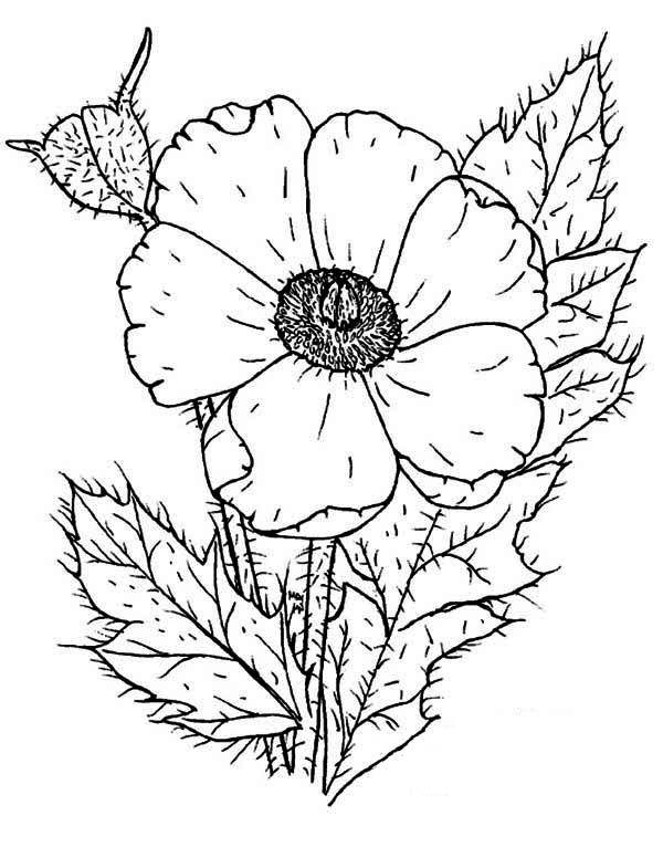 Poppy Photo of Poppy Coloring
