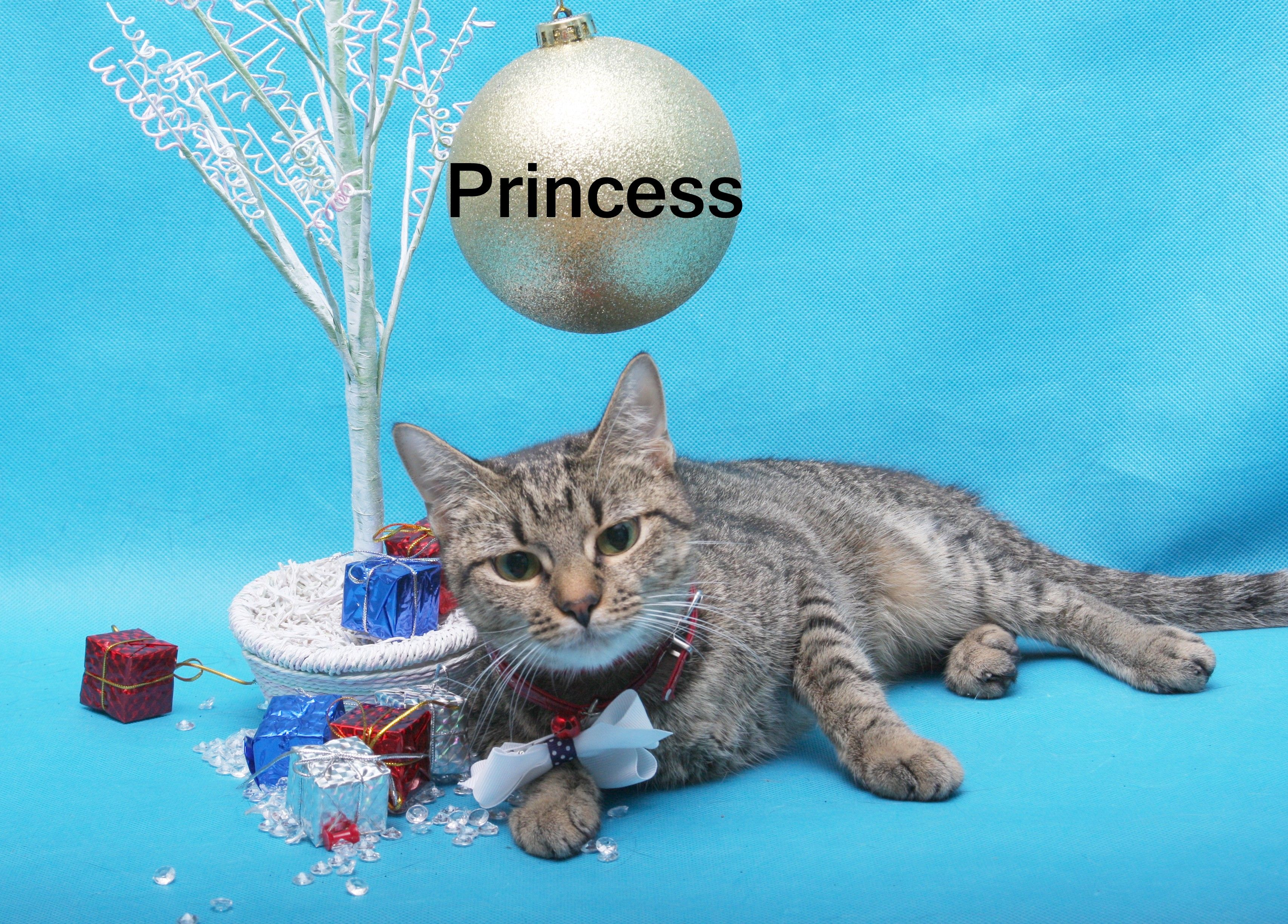Princess is Friday's #FestiveFeline! All #cat adoptions at HHS are just $24 through 12/24!