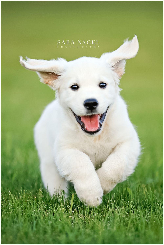 English Golden Retriever Puppy Ideas for puppy photos