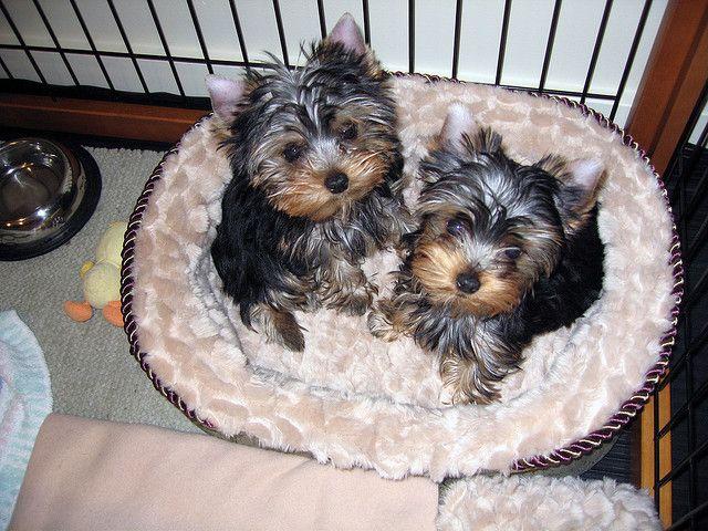 Yorkie Puppies Minneapolis Mn Yorkie Puppy Teacup Yorkie