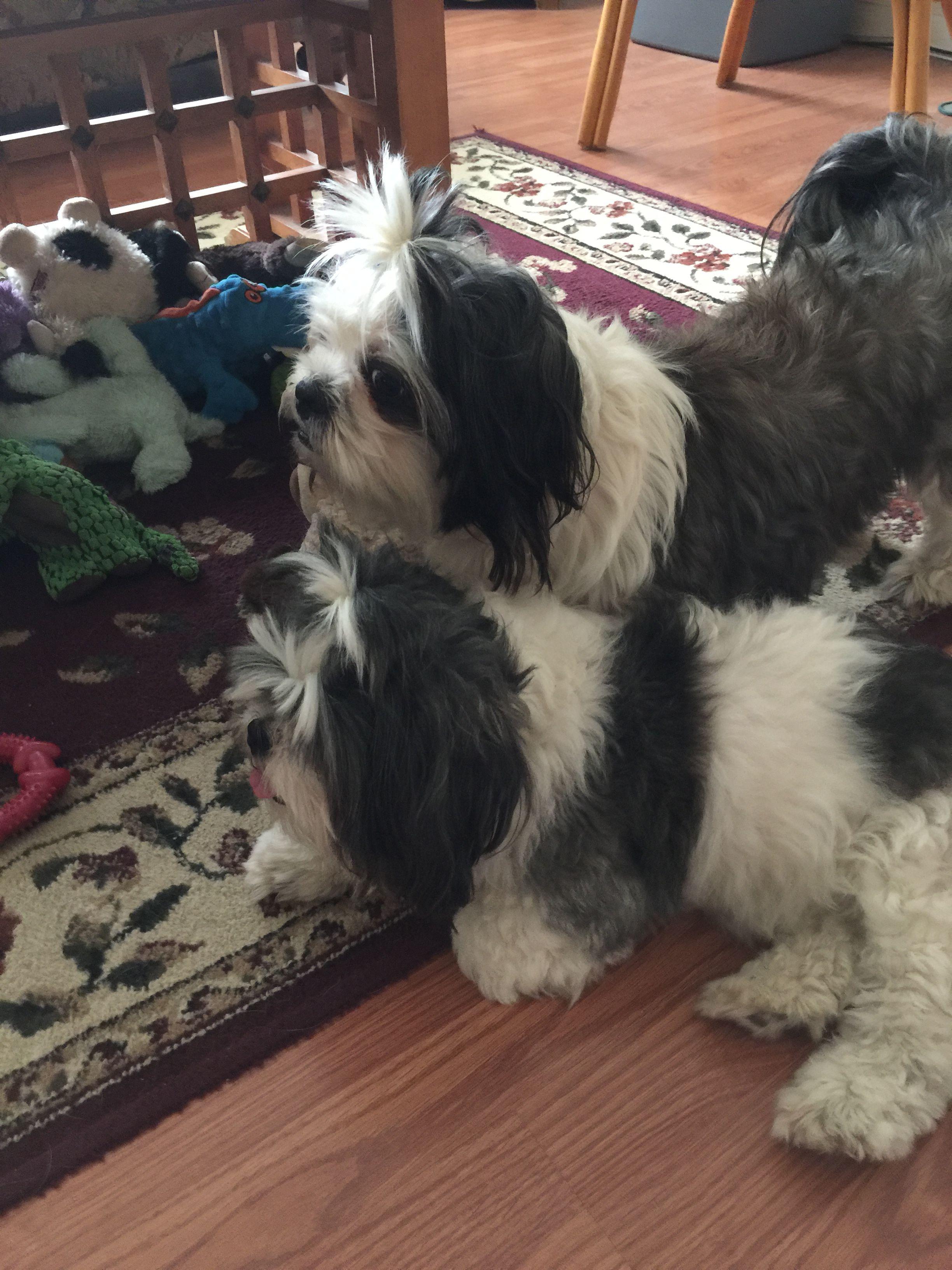 THETINCAT | Pet safe, Newyear, Happy new year  |Shitzu Puppies New Years Eve