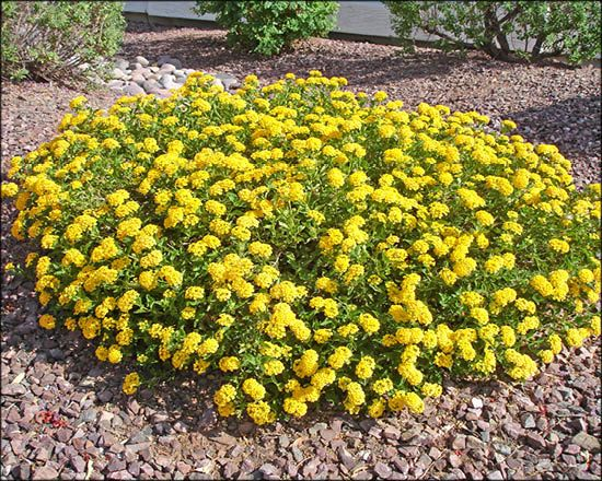 Lantana For Arizona S Best Shrubs Moon Valley Nursery Phoenix