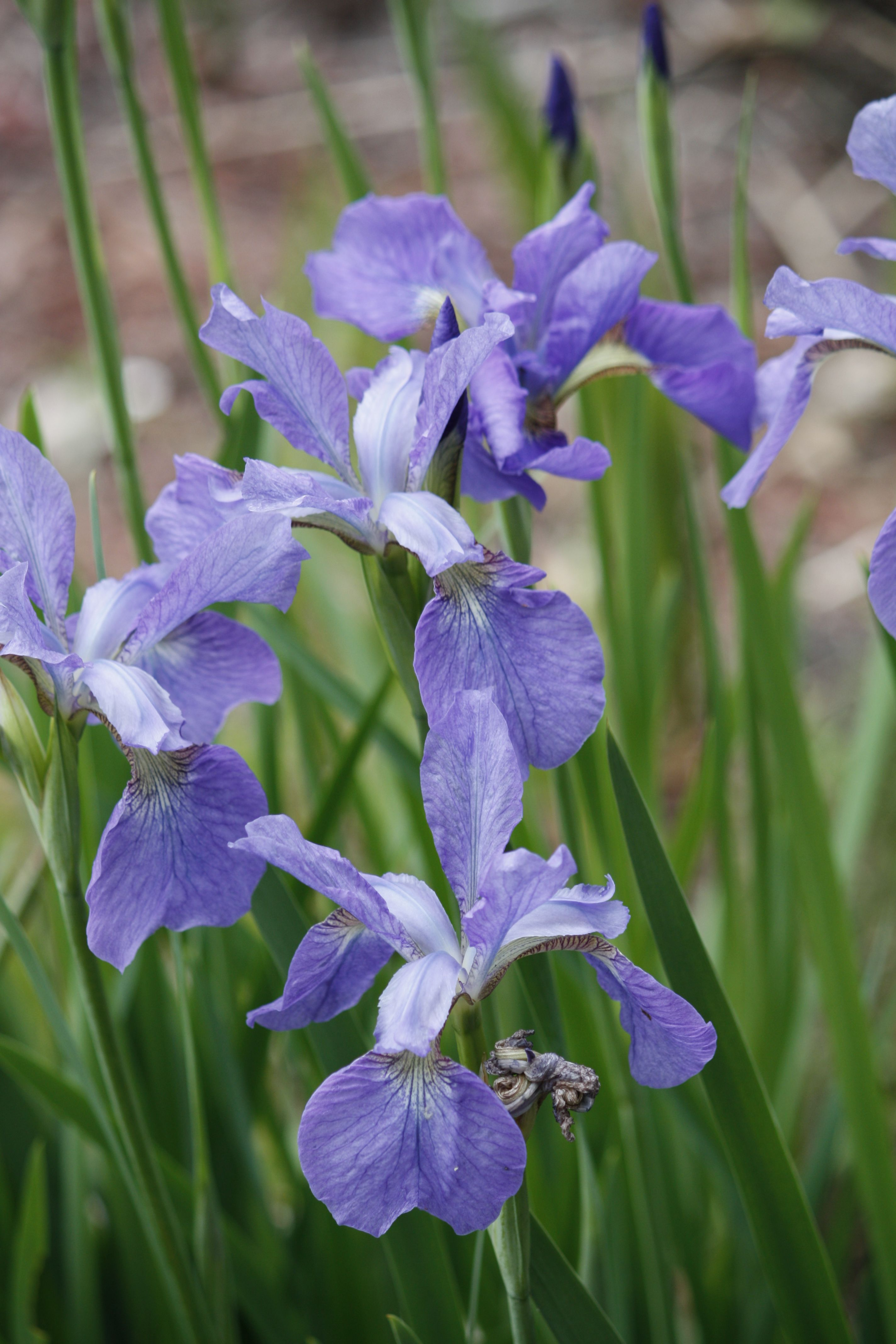 Perennial Flower Purple Iris Sally Summerfield My Photography
