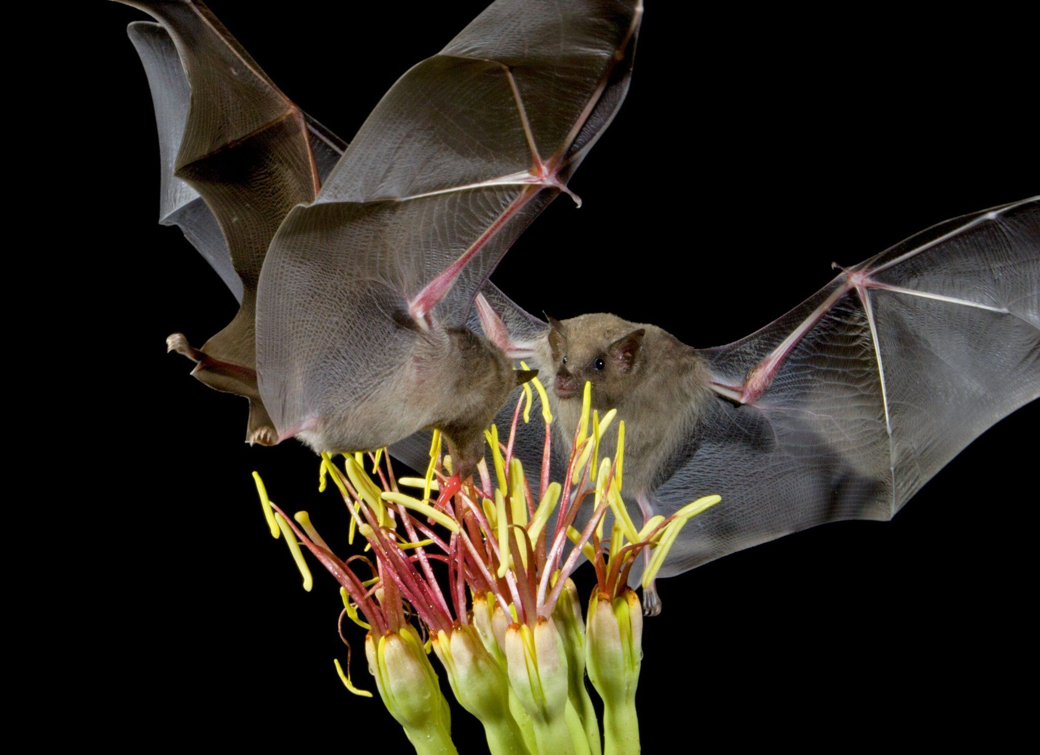 What do bats have to do with tequila from arizona to mexico what do bats have to do with tequila from arizona to mexico lesser long biocorpaavc