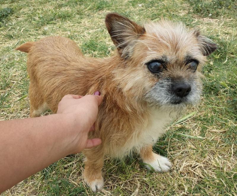 Meet Willow A Petfinder Adoptable Pekingese Dog Buckeye Az