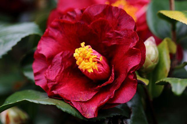 Camellia japonica 'Black Gold' (U.S., 1980)