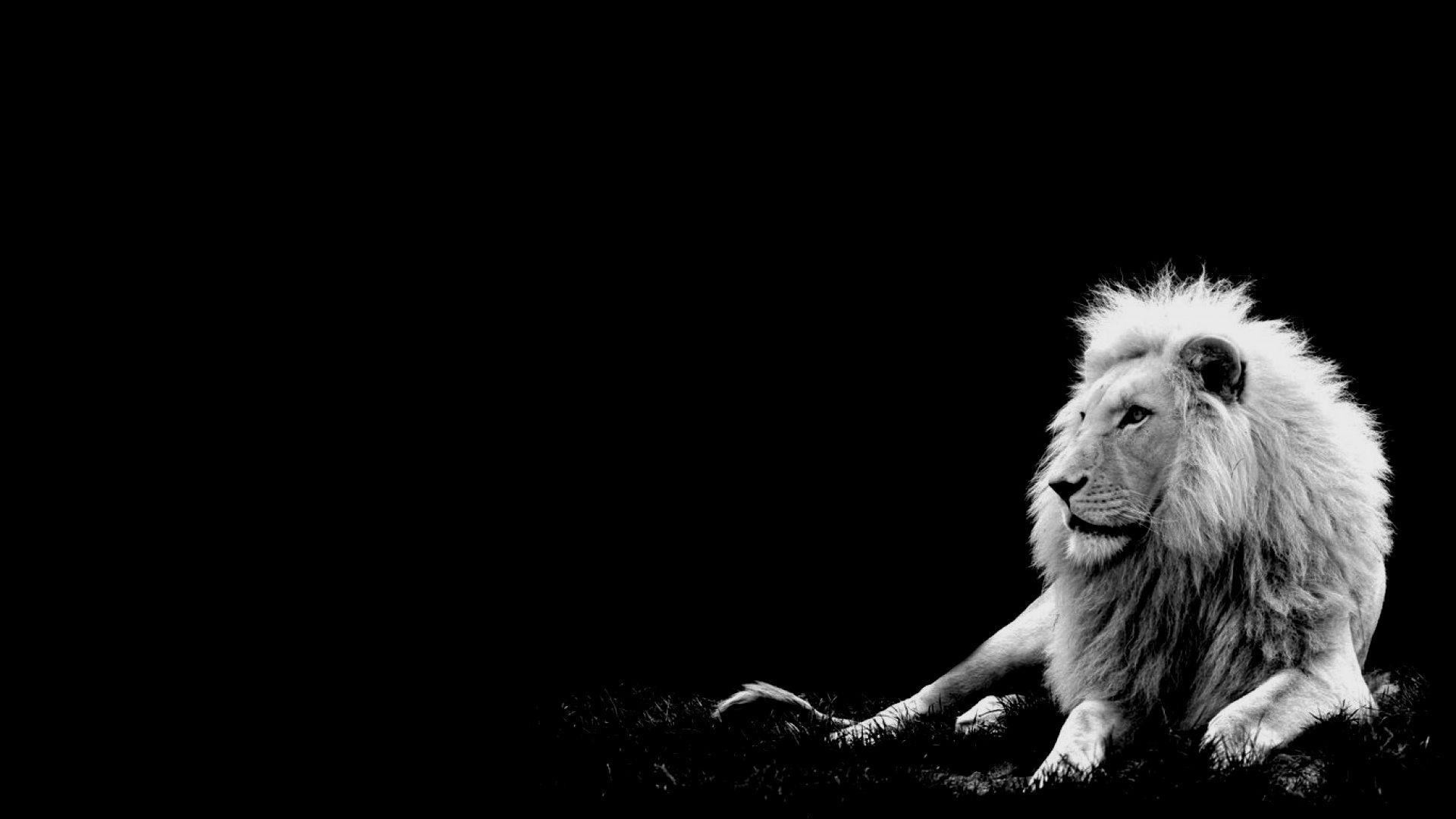 Hd wallpaper lion - White Lion Wallpaper Hd