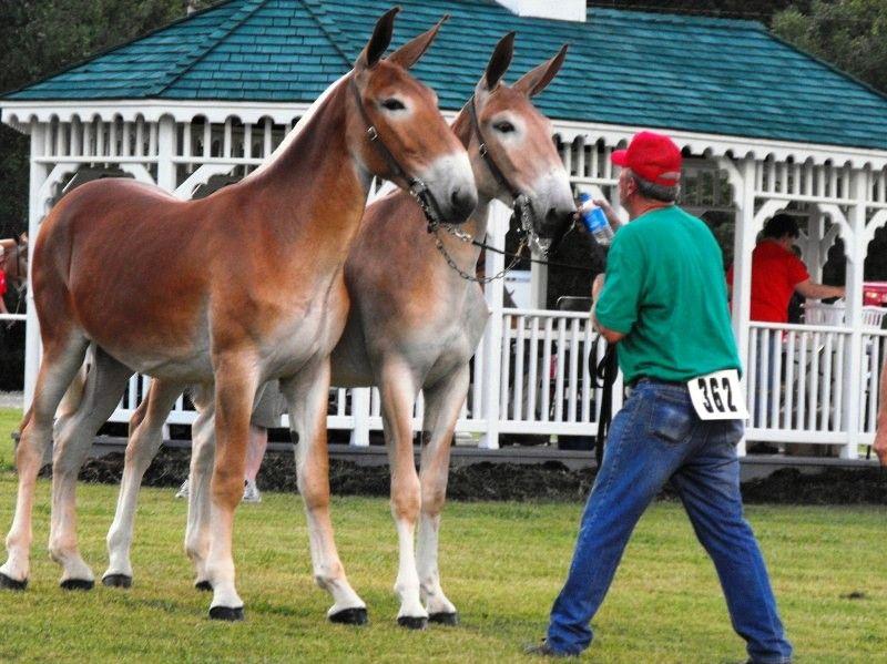 Draft mules