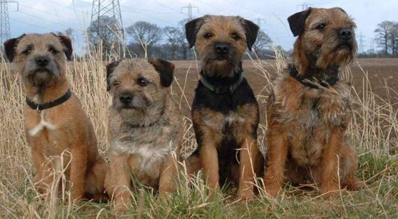 Border Terriers Border Terrier Dog Breeds Terrier