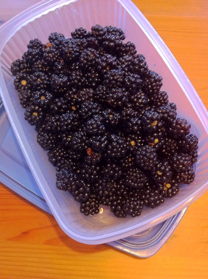 Freshly picked blackberries. What to create homemade jam or a pie? Get out and get picking it is the season