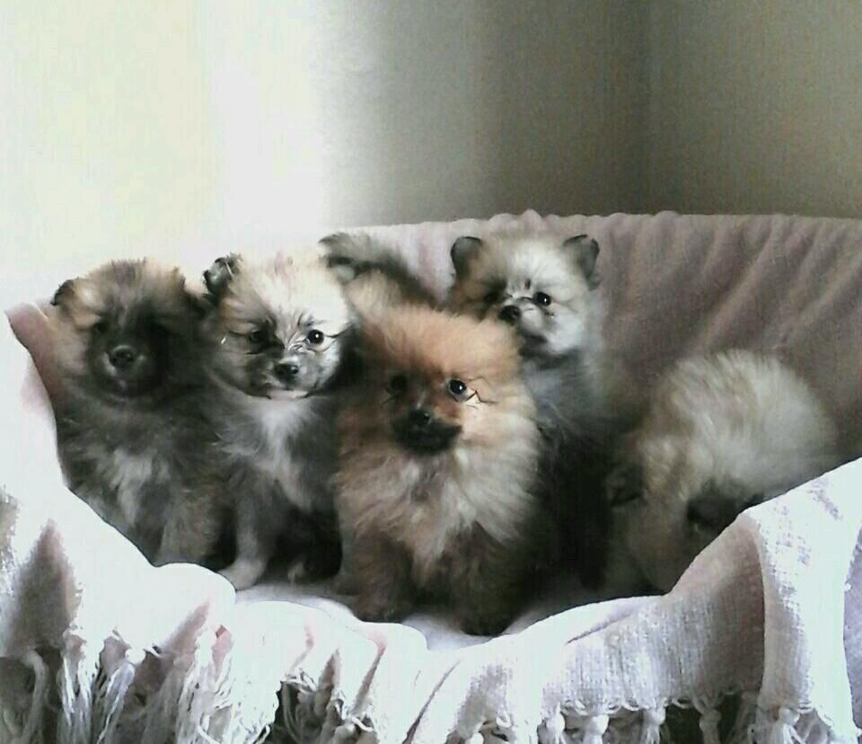Stunning Teacup Pomeranian Puppies United Kingdom Gumtree