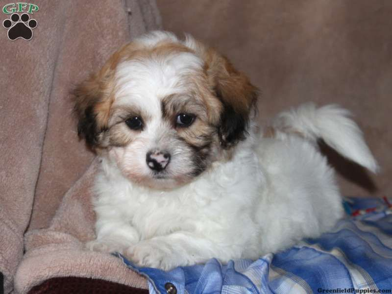 Shichon Puppies For Sale In Illinois