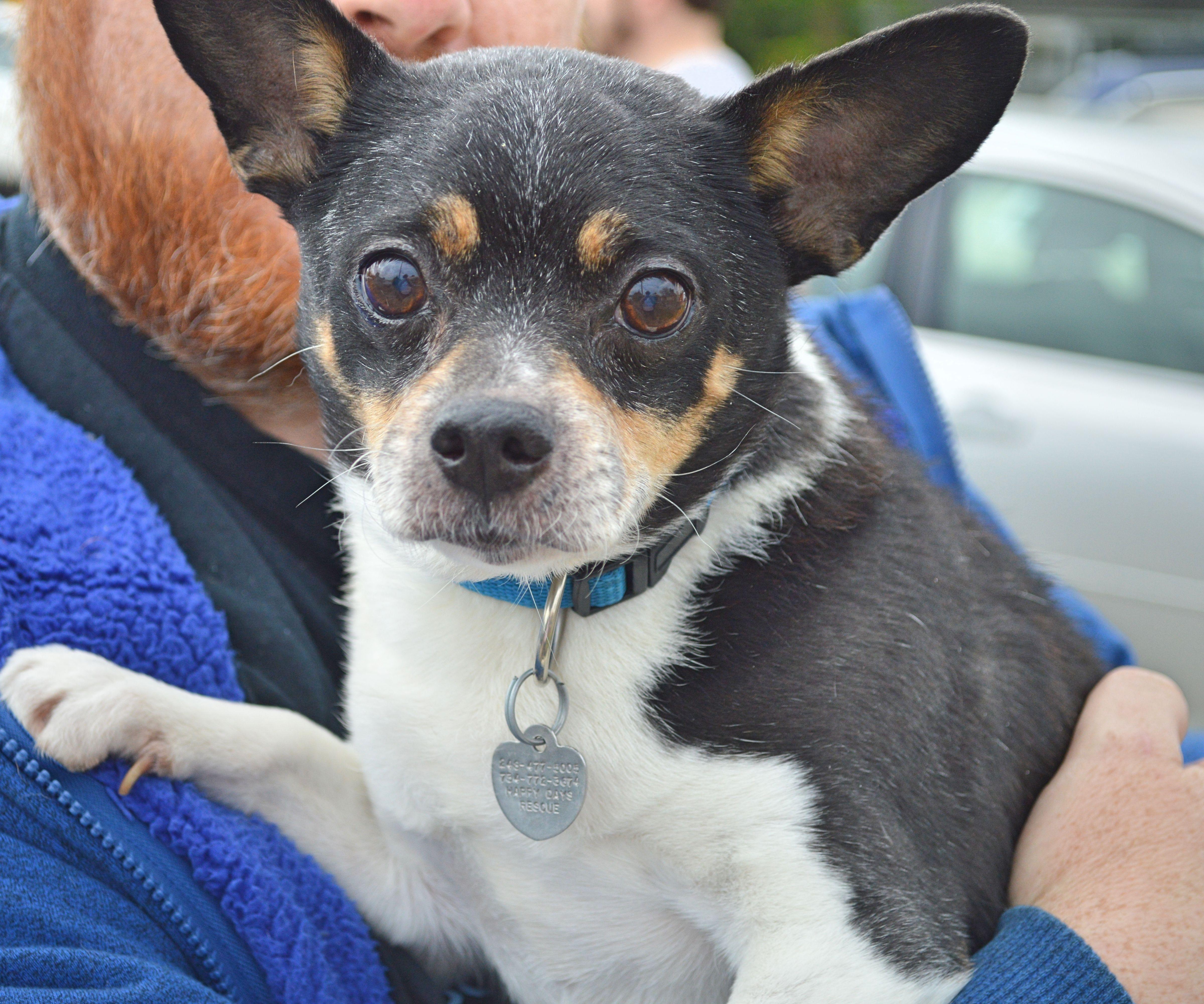 RatCha dog for Adoption in Livonia, MI. ADN137408 on