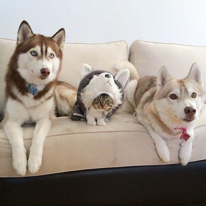 15 fotos preciosas que muestran la inolvidable amistad de tres Huskies con una gatita tras salvar su vida