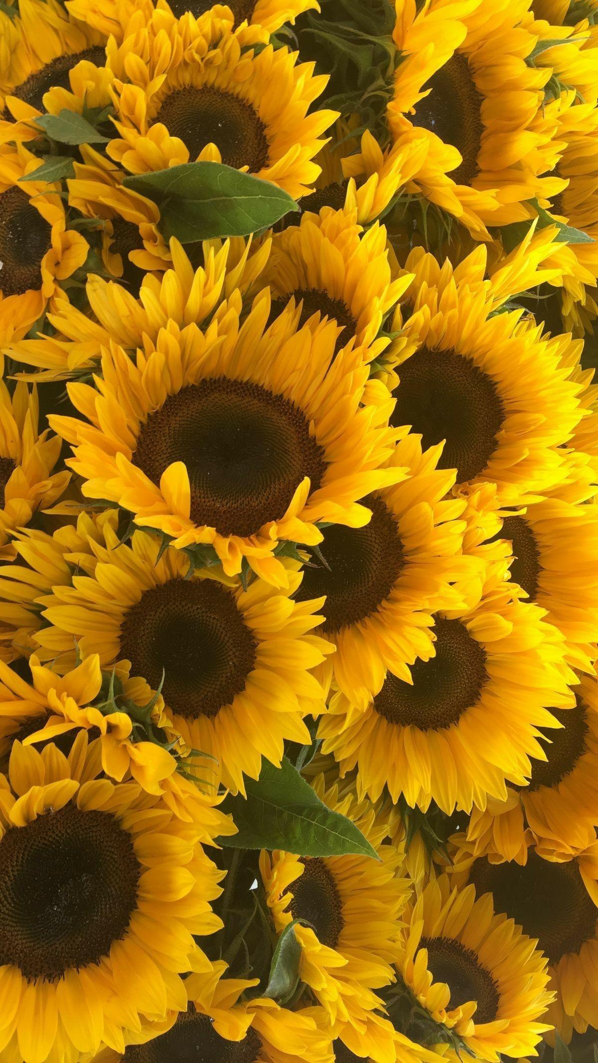 Sunflower Con Imagenes Girasoles Fondos De Fondos De Pantalla