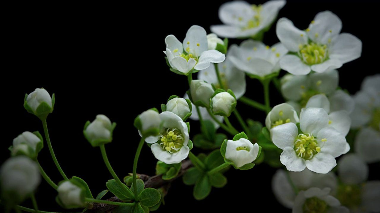 Watch Gorgeous Macro Time Lapse Of Flowers Opening Time Lapse Photography Bloom Plants