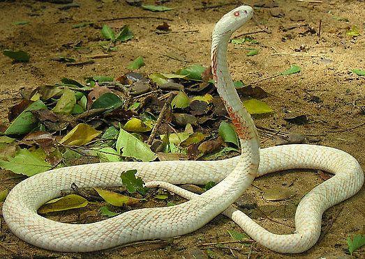Indian Cobra Aka Black Spectacled Pakistani Cobra Indian Cobra Snake Lovers Pretty Snakes