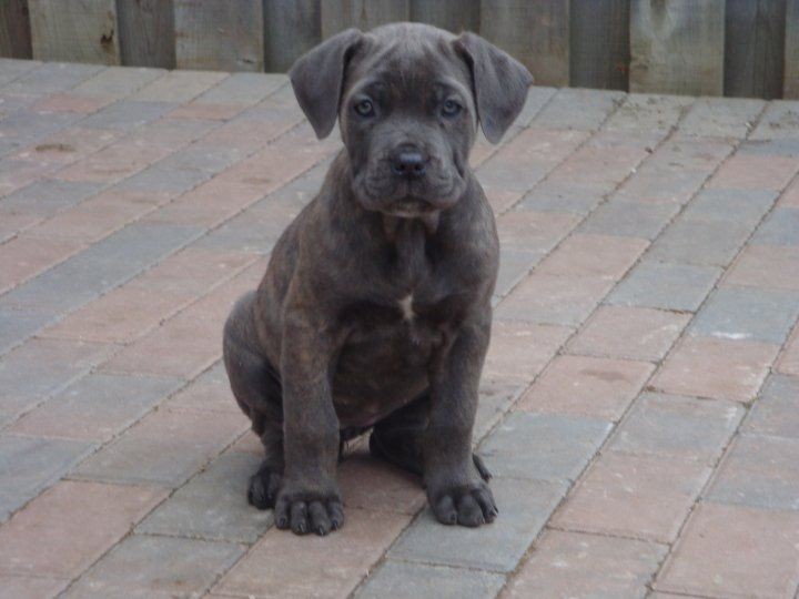 Cane Corso Pictures Cane corso, Best dogs for families, Dogs