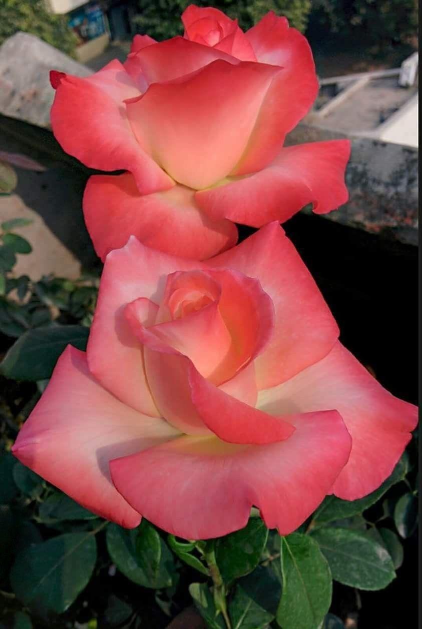 Lovely roses roses pinterest rose flowers and flower lovely roses izmirmasajfo