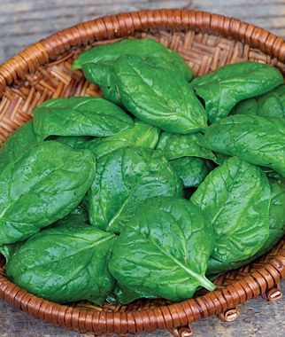 Spinach Crocodile Hybrid The Most Heat Resistant Spinach We Ve Ever Seen Burpee Spinach Seeds Vegetable Seed Vegetables