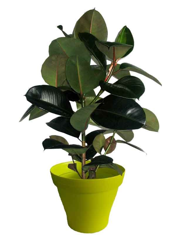 Ficus robusta avec cache pot vert