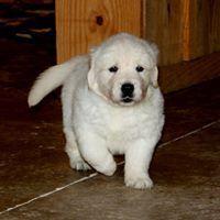 English Cream Golden Retriever Puppy Available Alabama Georgia