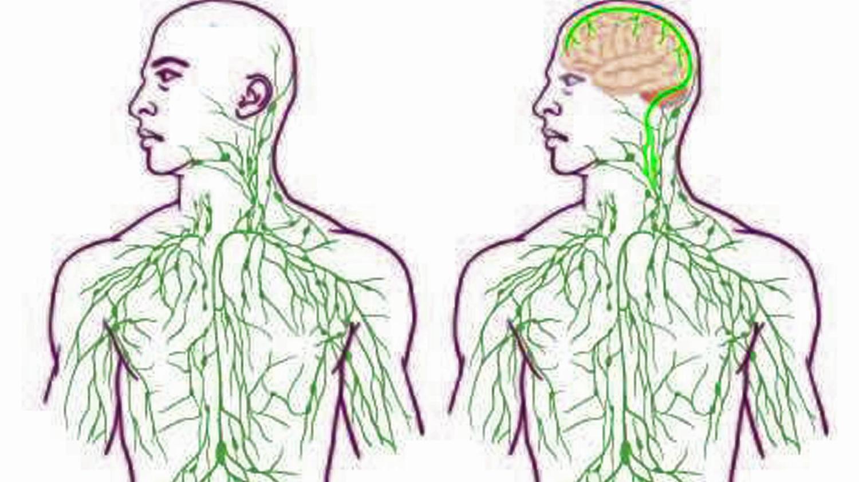 Anatomie: Lymphbahnen im menschlichen Gehirn entdeckt   das Gehirn ...