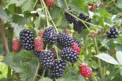 Brombeeren Pflege Pflanzen Vermehren Dungen Pflanzen Vermehrung