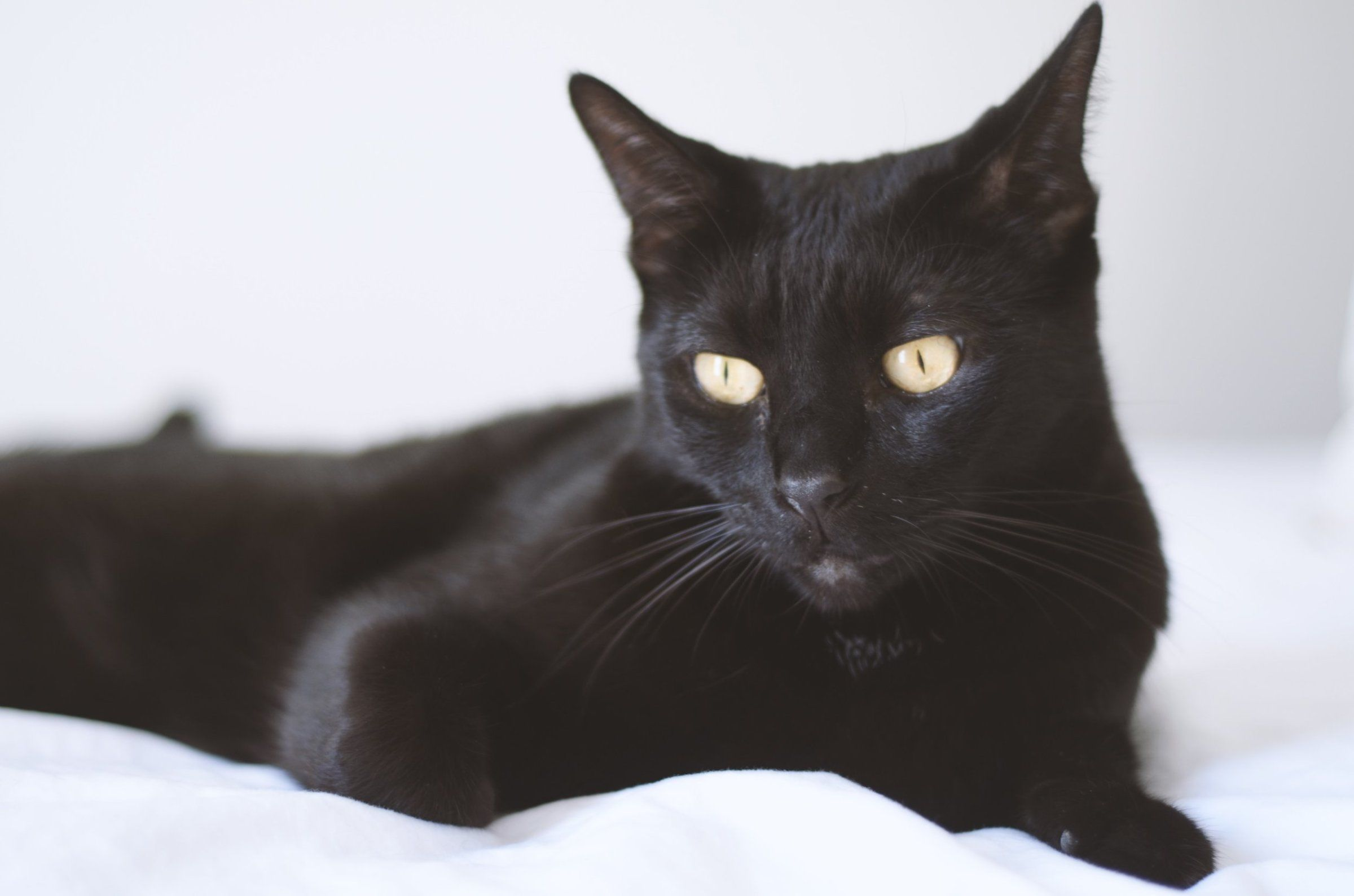 What Colors Can Cats See In 2020 Bombay Cat Black Cat Breeds Asian Leopard Cat
