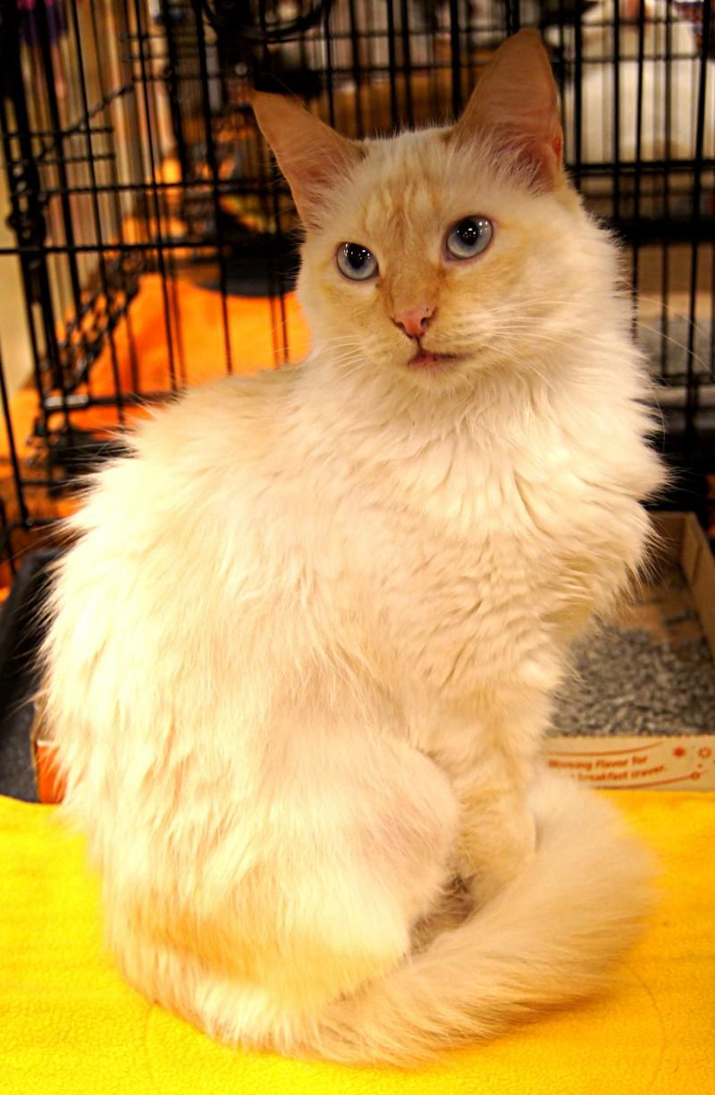 Meet Charmin An Adoptable Siamese Looking For A Forever Home If You Re Looking For A New Pet To Adopt Or Want Information O With Images Cat Adoption Paws Rescue Adoption