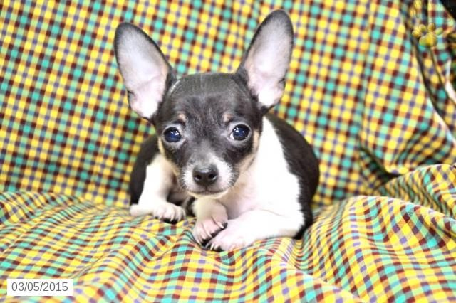 Chihuahua Puppy For Sale In Ohio Buckeyepuppies Chihuahua Puppies Chihuahua Puppies For Sale Chihuahua