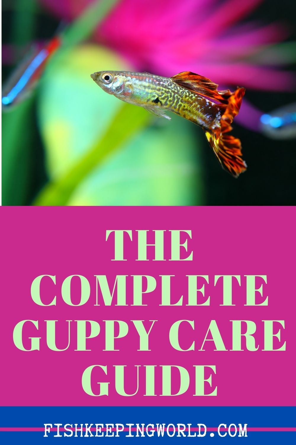 The Complete Guppy Care Guide 2020 Breeding Tank Requirements Fancy Varieties In 2020 Guppy Tropical Freshwater Fish Guppy Fish