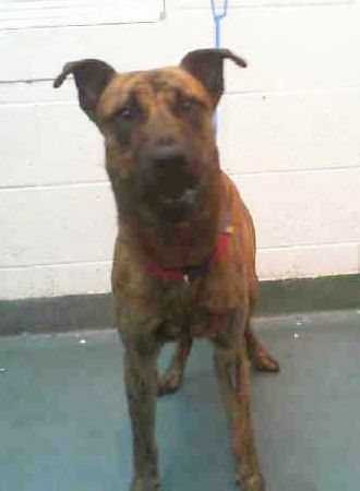 SAFE --- ROCKY (A1677428) I am a male brown brindle Terrier.  The shelter staff think I am about 1 year old.  I was found as a stray and I may be available for adoption on 02/09/2015. — hier: Miami Dade County Animal Services. https://www.facebook.com/urgentdogsofmiami/photos/pb.191859757515102.-2207520000.1423435743./922260361141701/?type=3&theater