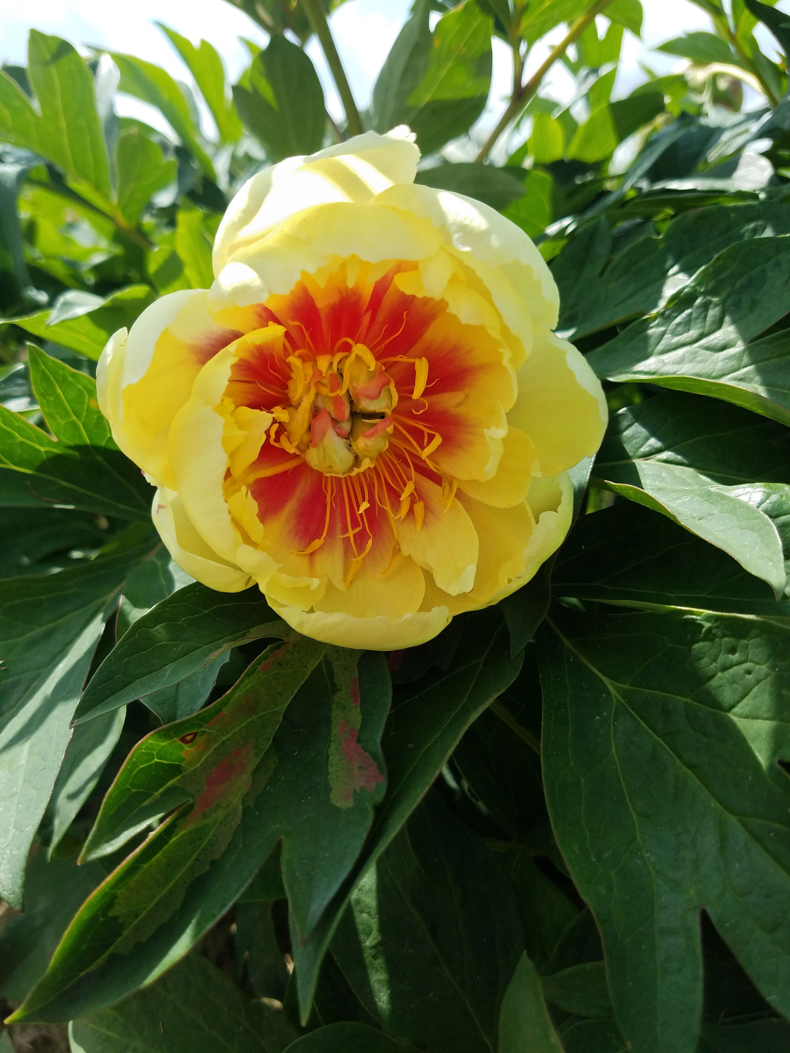 Tree Peony Type Flowers With Yellow Petals Lighter Colored At The Outer Ends With Large Red Flares And A Promin Peony Plants For Sale Bare Root Peonies Peonies