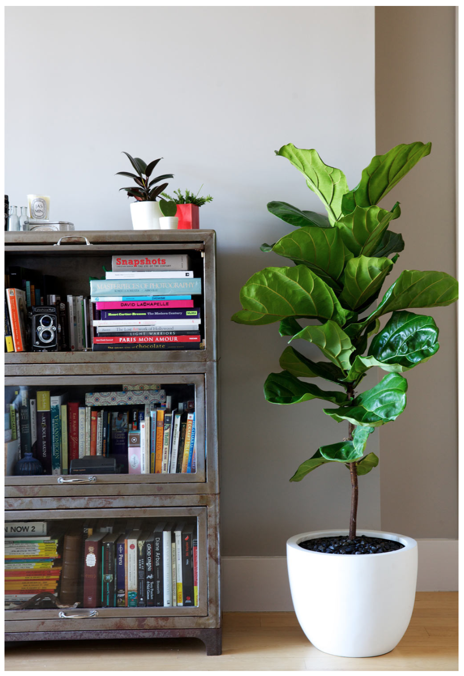 Discover Ideas About Fig Plant Indoor