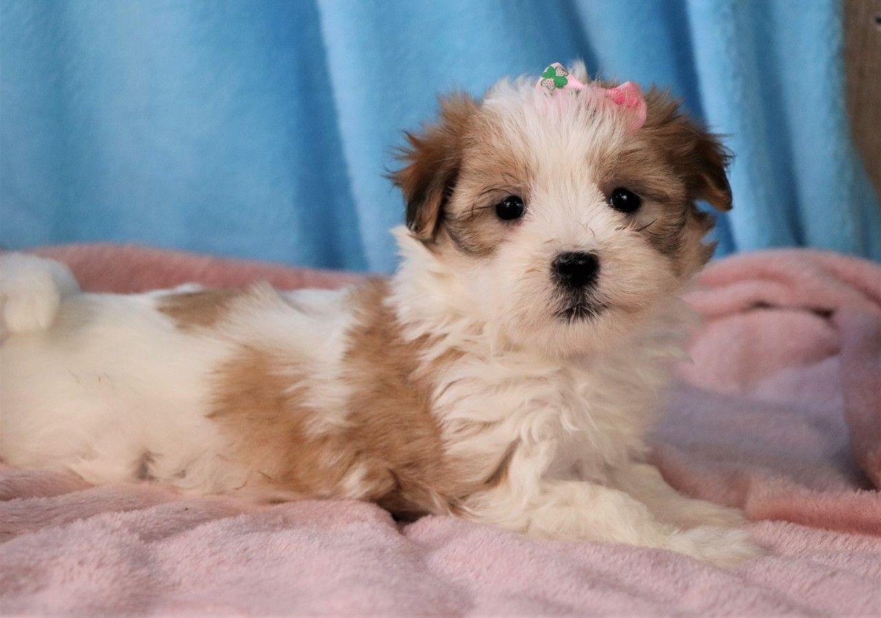 Penelope In 2020 Havanese Puppies Havanese Puppies For Sale Havanese