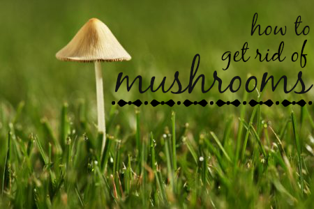 Have An Invasion Of Fungi In Your Lawn Try One Of These Four Methods For Eliminating Those Mushrooms Stuffed Mushrooms Mushrooms In Grass Lawn Care